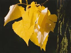 žlutý topol
