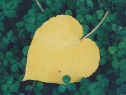 srdce z topolu