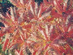 červená škumpa