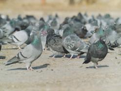 holubí sněm