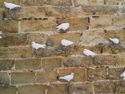 holubí rastr