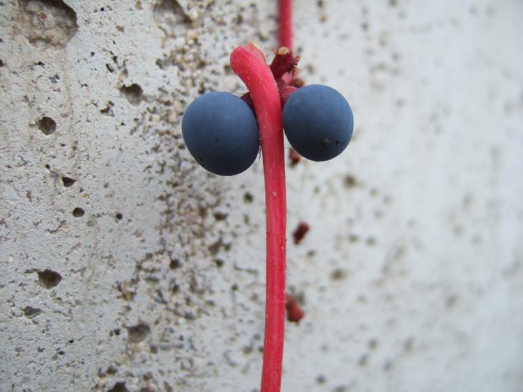 modré kuličky a červený řapík