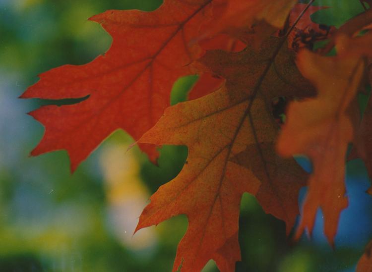 červený dub