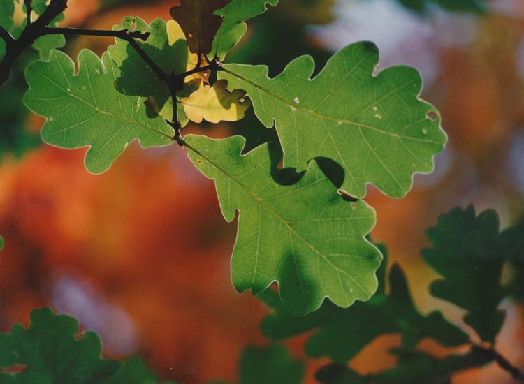 zelený dub