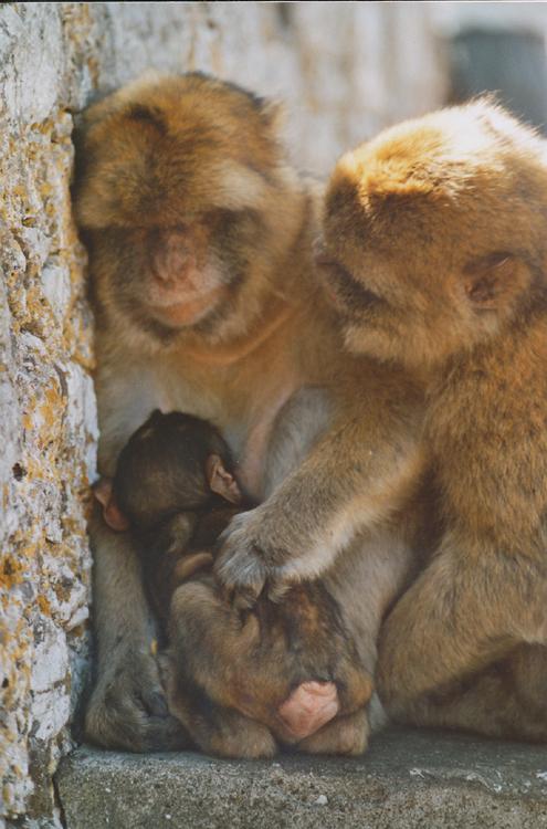 mateřská opičí láska