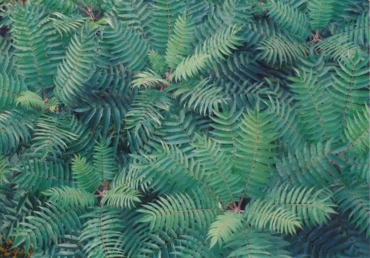 zelená škumpa